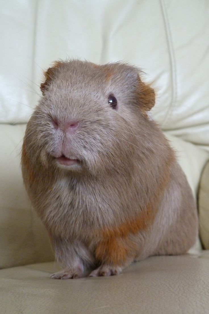 This looked like my guinea pig Cocoa when she was a baby