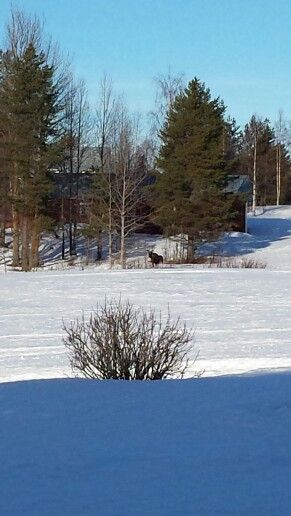 A curious moose wondered what I was doing