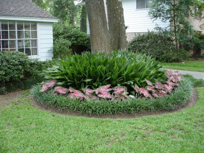 Cast iron plants caladiums and liriope around the base for Tree landscaping ideas