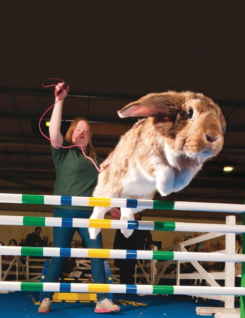 BUNNYSBunnies Galore, Animal Things, Animal Pictures, Jumping Bunnies, Bunnies Jumping, Rabbit Fun, Show Jumping, First Places, Loveable Animal