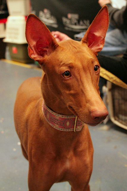 pharaoh hound photo | Recent Photos The Commons Getty Collection Galleries World Map App ...