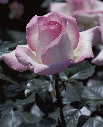 JP: Princesse de Monaco (Grace Kelly) - Ivory White Finely Edged Deep Pink Hybrid Tea Roses