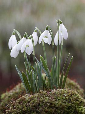 *Snow Drops (Galanthus Nivalis)