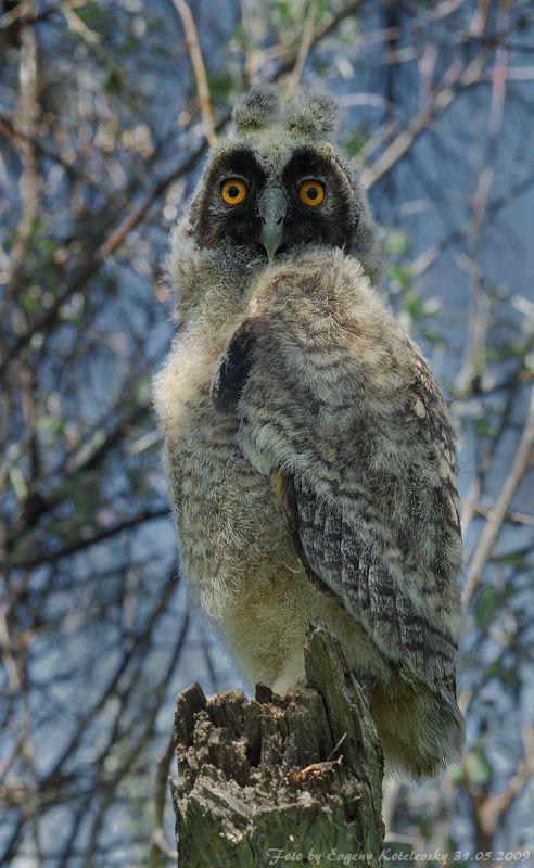 Long-eared Owl (Asio otus) juvenile. Photo by Evgeny Kotelevsky.