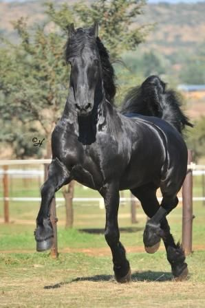 78+ images about Horse's: Dark Brown, and Black Colors on ... | 298 x 448 jpeg 25kB