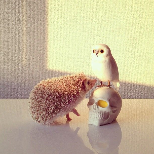 Best Cutest Hedgehogs Ever Images On Pinterest Lily - Darcy cutest hedgehog ever
