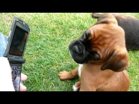 Boxer Puppy Reacting To Phone Ringtone Sooo Cute Viralpawz