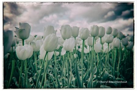 Clouds and Tulips | Cheryl Bez Photography More at: cherylbez.photography