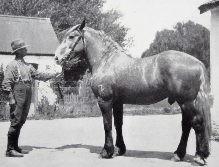 Foxlow, Bungendore, New South Wales. The Property of Franc B. S. Falkiner, Esq. Approximately 15,000 acres. Photo circa 1920. 'Two year old Percheron Stallion bred at Foxlow Homestead'. Uploaded courtesy of thecollectorsbag.com