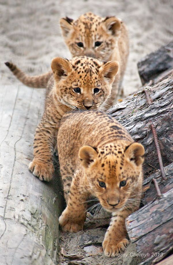 Cute cub trio. For useful information about wildlife safaris tours and tour operators visit www.safarbookings.com