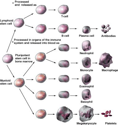 White blood cells originate in bone marrow, some of which become antibody-producing plasma cells as seen in the top part of the drawing.