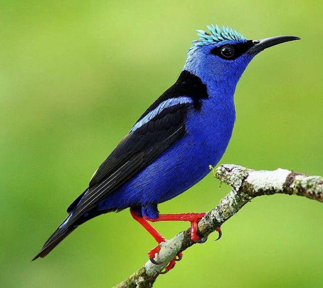 Bellas Aves de El Salvador: Cyanerpes cyaneus (mielerito, petirrojo mielero)