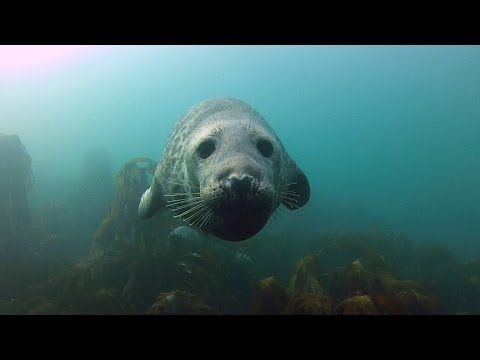 Seal gets a belly rub from a diver
