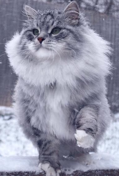 Cat Breeds Siberian Forest