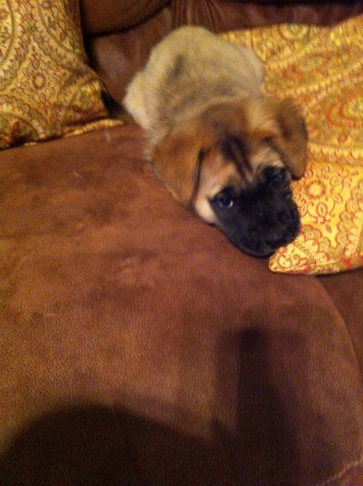 1000+ images about Mastiff on Pinterest | Sheep dogs, Big teddy bear ...