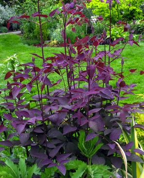 25 Best Ideas About Purple Perennials On Pinterest