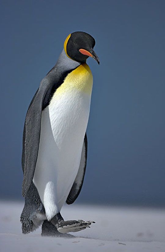 The king is the second largest species of penguin, after the emperor, Photograph by Andy Rouse-Rex