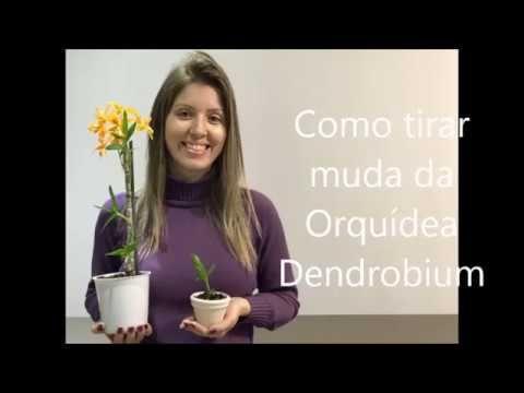 Como tirar muda da Orquídea Dendrobium - YouTube