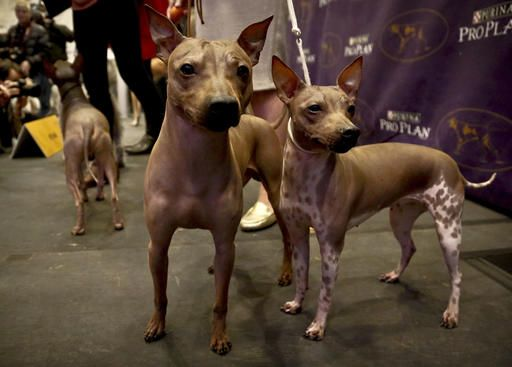 3 New Breeds in Westminster  Kennel Club