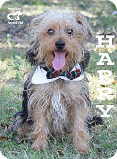 Denver, CO - Australian Terrier/Yorkie, Yorkshire Terrier Mix. Meet Harry a Dog for Adoption.