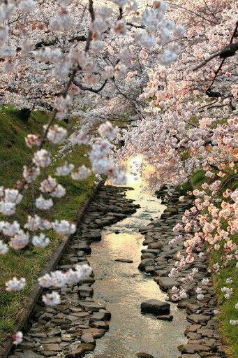 Cadono i fiori di ciliegio sugli specchi d'acqua della risaia :stelle, al chiarore di una notte senza luna. Yosa Buson Foto dei ciliegi giapponesi presa da Pinterest