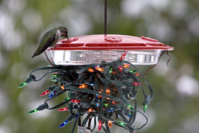 Seattle Audubon on feeding Hummingbirds during the winter months.