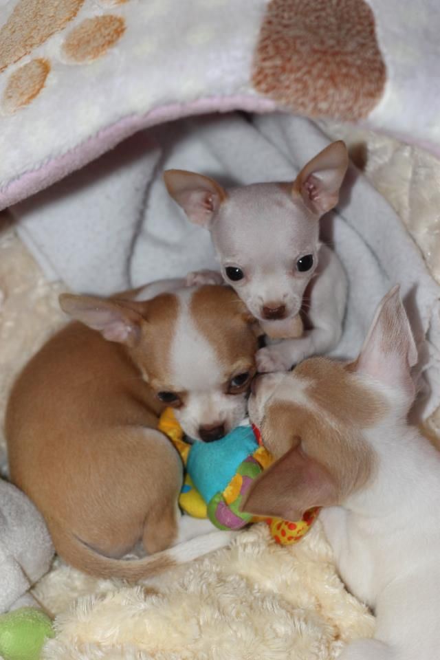 chihuahua babys 1000 ideas about baby chihuahua on pinterest teacup 3367