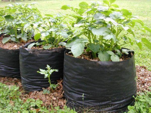 Картофельные кусты в мешках