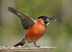 Common Bullfinch, Dompap, male (Kjersti Nybakke) Tags: red male bird nature norway outside outdoors fugl pyrrhulapyrrhula dompap commonbullfinch kjerstinybakke