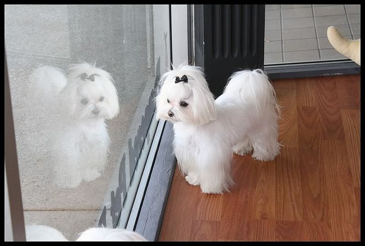 Jett y Callie de nuevos recortes para la fiesta :) - Malta Foro de perros: Spoiled Foros de Malta