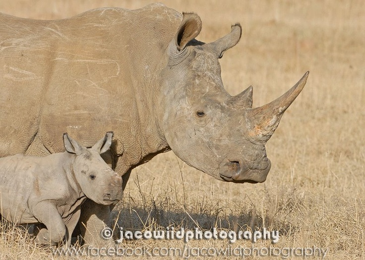 #Rhino Mother and baby...