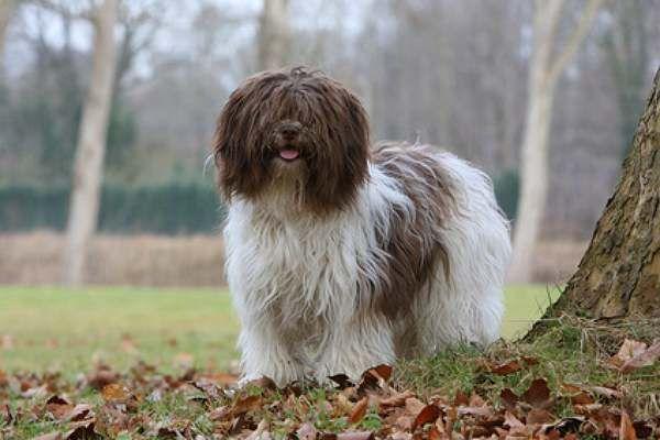 schapendoes dog photo | Schapendoes, Nederlandse Schapendoes, Niederländischer Schafpudel