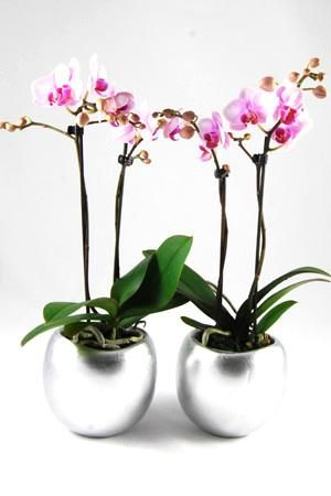 Orchidee Phalaenopsis Koblenz in Bolpot zilver keramiek.