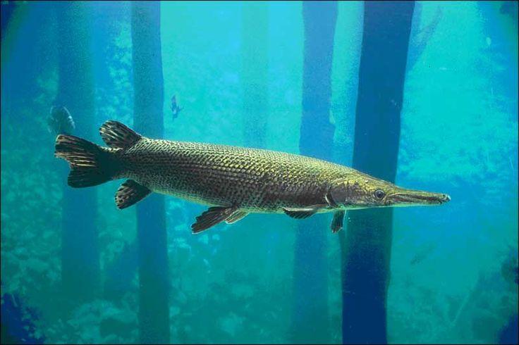 Alligator gar aquarium pinterest louisiana for Gar fish texas