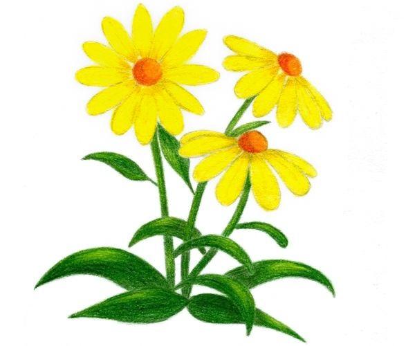 Flori de camp - cum se deseneaza, desen pas cu pas.