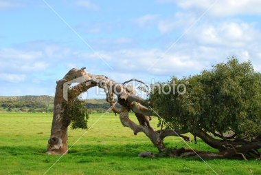 """Geraldton, Gascoyne and Midwest LINK2 """"Leaning Tree - Eucalyptus, River Gum"""""""