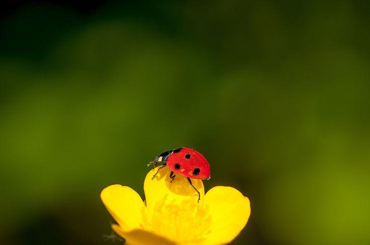 °°°ladybug in yellow°°° by Graziella Serra Art & Photo on 500px