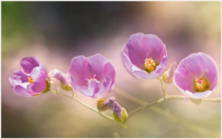 Hollyhocks Pink Flowers Wallpaper | hollyhocks pink flowers wallpaper 1080p, hollyhocks pink flowers wallpaper desktop, hollyhocks pink flowers wallpaper hd, hollyhocks pink flowers wallpaper iphone