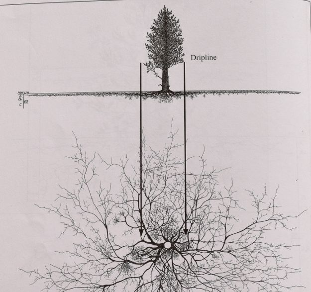 pinus cembra root system 090815 008