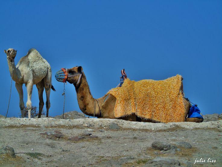 Camels !!!
