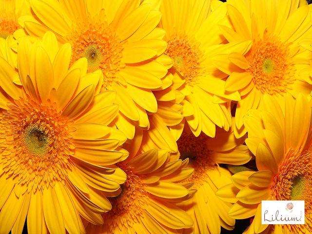 LAS MEJORES FLORES A DOMICILIO.  ¿Sabe cuál es el significado del color amarillo cuando se regala en flores? Este es el color de la luz y es asociado a la alegría. Sin embrago, también se le dan connotaciones negativas como los celos, la envidia o egoísmo. En Lilium conocemos el lenguaje secreto de las flores. Le invitamos a regalarle a esa persona especial uno de nuestros diseños florales, desde el lugar en el que se encuentre a través de nuestra página web.
