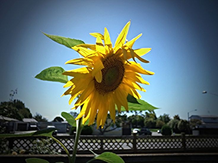 The 'Big Show' Sunflower