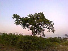 Azadirachta indica, comúnmente llamado nim. Árbol de Neem