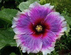 Very rare beautiful perennial hibiscus rosa sinensis - See this image on Photobucket.....