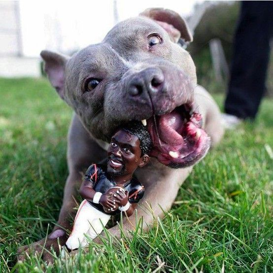 A pitbull chewing on a Michael Vick doll.