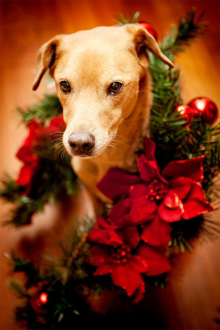 161 best christmas puppies images on pinterest animals