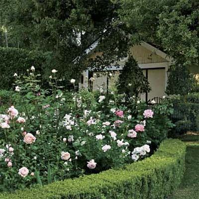 This low hedge of boxwood makes a skirt that hides the unsightly bare bases of rosebushes. | Photo: Mark Lohman | thisoldhouse.com