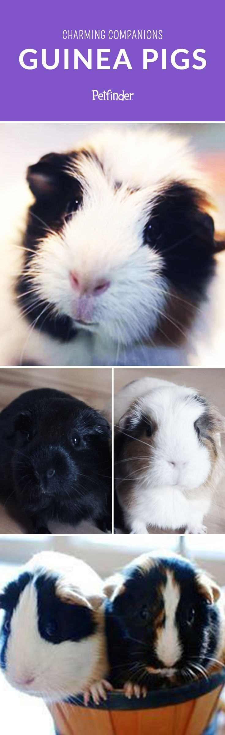 Did you know that many animal shelters have Guinea Pigs available for adoption? These low-maintenance pets are commonly surrendered by owners, in part to the reality that pet store guinea pig purchases are often unplanned and unresearched.