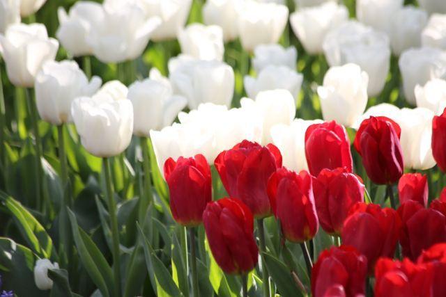 A #tulip paradise, the #Keukenhof in #Amsterdam