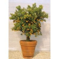 Send plants online   in bangalore,Buy bonsai plants online in   bangalore,Buy bonsai plants in bangalore,Bonsai   plants for sale in bangalore,Bonsai plants   online in bangalore,Order plants online in   Bangalore